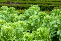 Field of Green Frisee lettuce Stock Images