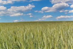 Field of green grain against the background of a blue sky with clouds. Summer day at the farm. stock images