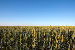 Field. Green field of grain in summer and blue sky Royalty Free Stock Images