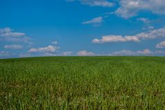 Field with green grain. In the sun stock image