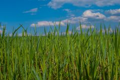 Field with green grain. In the sun Stock Photos