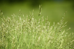 Field of green grass. Background of green grass, shallow depth of field stock photography