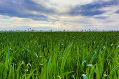 Field of green grass Stock Images