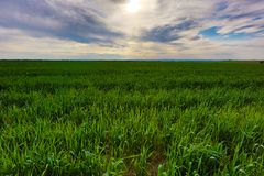 Field of green grass Royalty Free Stock Photography