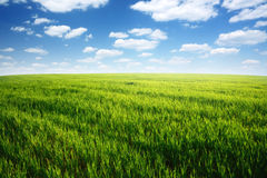 Field of green grass and blue cloudy sky. Spring morning... field of green grass and blue cloudy sky Royalty Free Stock Image