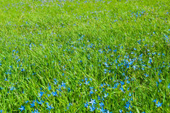 Field of a  green grass with blue flowers Stock Image