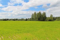 Field of green grass and blue sky in summer day. Forest edge. Russia Stock Images