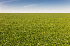 Field of green grass. Natural color Royalty Free Stock Photography