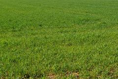 Field with green grass. Photo field of lush green grass Royalty Free Stock Image