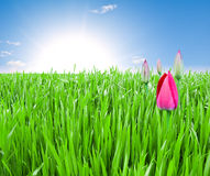 Field of green grass and pink tulips Stock Photography
