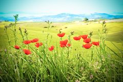 Field with green grass and red poppies against the sky,vintage style Stock Photo