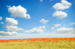 Field with green grass and red poppies Royalty Free Stock Images