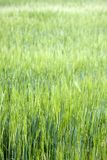 Field of green grass with short dof. A field of tall green grass in summer with short depth of field Stock Photo