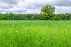 Field of green grass. And tree Royalty Free Stock Images