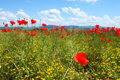 Field with green grass, yellow flowers and red poppies Royalty Free Stock Images