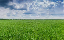 Field with green grasses Royalty Free Stock Image