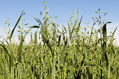 Field of green growing oats. A farm field of green growing oats Royalty Free Stock Photography