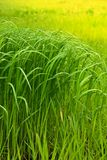 Field of a green high grass Royalty Free Stock Photo