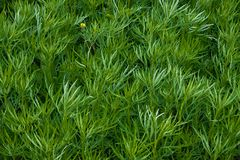 Field of a green high grass of a wormwood Royalty Free Stock Image