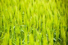 field of green immature barley. Spikelets of barley. The field is barley, Rural landscape. stock photo