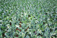 Field of Green Kale Royalty Free Stock Images