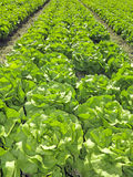 Field with green lettuce Stock Photography