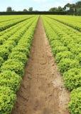 field of green lettuce grown on sandy soil in summer Royalty Free Stock Photo
