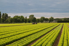 Field of green lettuce. With tractor Stock Photo