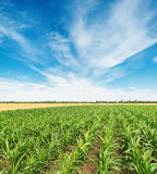 Field with green maize and clouds in blue sky Royalty Free Stock Photography