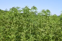 Field of green medical cannabis. Stock Image