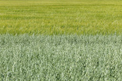 The Field of the green Oat Royalty Free Stock Photos