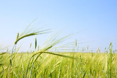 Field with green oats Royalty Free Stock Photography