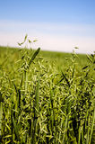 Field of green oats,. A farm field of green growing oats stock photo