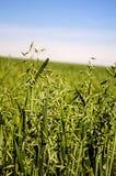 Field of green oats,. A farm field of green growing oats Stock Photo