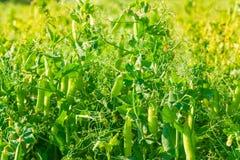 Field of green peas. Stock Photo