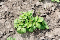 Field of green potato bushes. Growing potatoes. Royalty Free Stock Photography