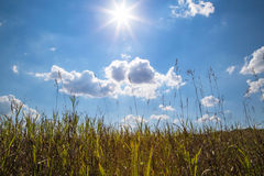 A field of green prairie grass waves against a blue sky with clouds. Stock Image