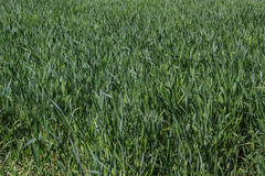 Field of green rye. Field of green fresh rye Royalty Free Stock Images