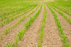 Field of Green Shoots Royalty Free Stock Images