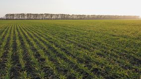 Agriculture. Field of winter wheat. A field with green shoots the camera moves along the shoots. Agriculture. Field of winter wheat with movement of the chamber stock footage