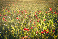 Field with green shoots of grain and poppy flowers Royalty Free Stock Photos