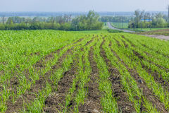 Field with green shoots of spring wheat Stock Image