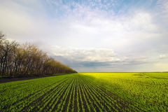 Field with green shoots and trees Royalty Free Stock Images