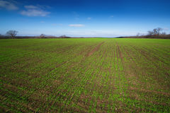 Field with green shoots of winter crops Royalty Free Stock Photo