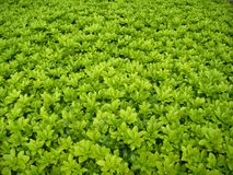 Field with green small leaves - closeup background royalty free stock image