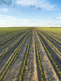 Field of green soybean Stock Images