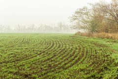 Field with green sprouts of winter wheat. On a foggy autumn day Stock Image