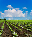 Field with green sunflowers Stock Photo