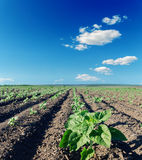 Field with green sunflowers Royalty Free Stock Image
