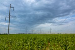 Field of Green Sunflowers and Power Lines royalty free stock photography